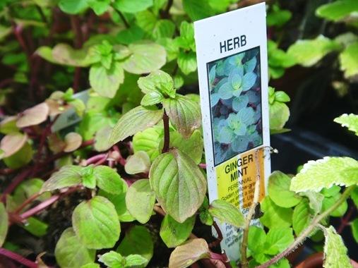 Ginger mint plant