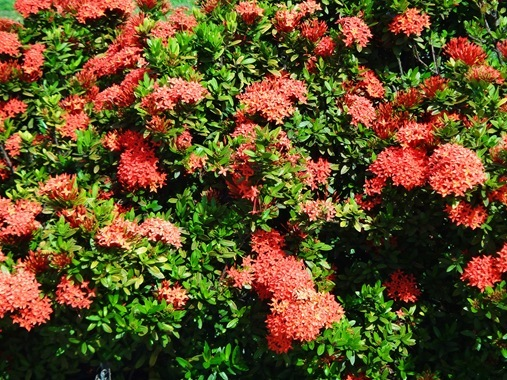 Red Ixora St Lucia