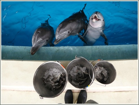 dolphins and buckets of fish at National Aquarium