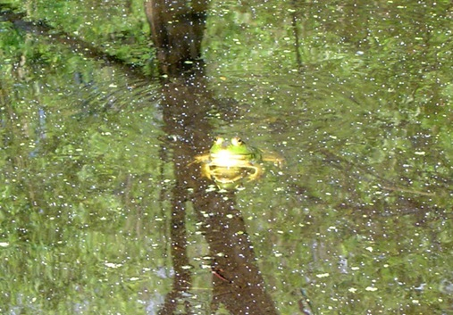 Frog in swamp