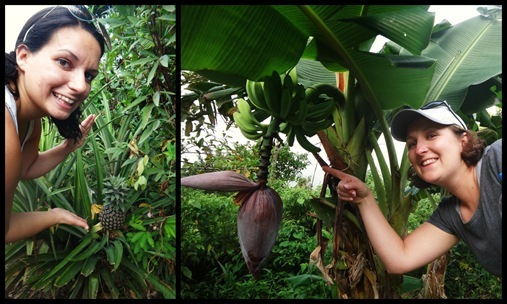 12-9 Tet Paul Nature Trail Soufriere St. Lucia pineapple and banana growing