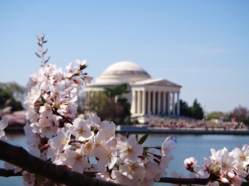 Cherry Blossoms and  Jefferson Monument
