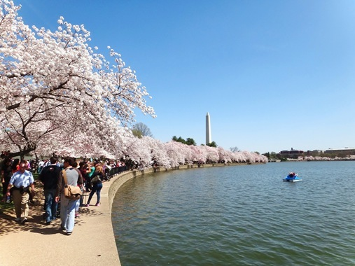 Cherry Blossoms around tidal basin Wasington DC