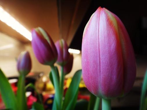 Tulip in Mom's Kitchen