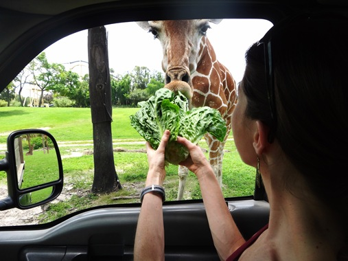 K feeding a giraffe at Busch Gardens Tampa