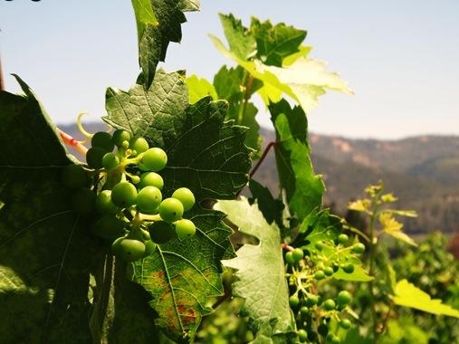 Grapes in vineyard in Napa, CA